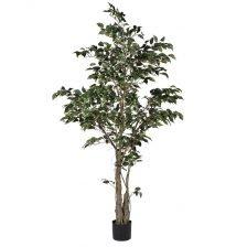 VARIEGATED FICUS TREE